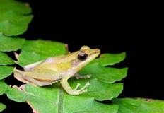 Biała lipped żaba na liściu obrazy stock