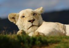 Biała lwica zdjęcie stock