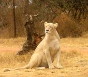 Biała lwica Fotografia Royalty Free