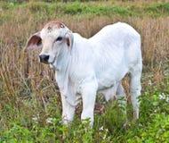 Biała młoda krowa Obrazy Stock