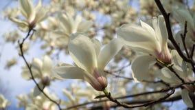 Biała magnolia kwitnie na gałąź na tle niebieskie niebo zdjęcie wideo