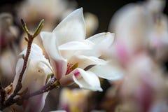 Biała magnolia kwitnie w pełnym kwiacie Piękna śmietankowa magnolia Zdjęcia Royalty Free