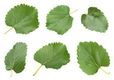 Biała morwa z liścia setem Zdjęcia Stock