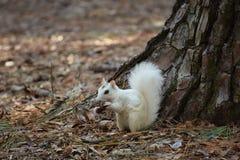 Biała mutacja Wschodnich szarość wiewiórka Obraz Royalty Free