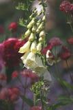 Biała naparstnica i czerwone róże Zdjęcie Stock