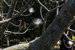 Biała nić kwitnie między gałąź Fotografia Royalty Free