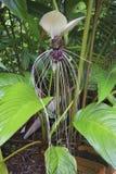 Biała nietoperz roślina Zdjęcie Stock