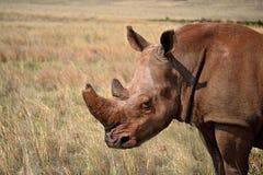 Biała nosorożec żyje w Afryka w długich i trawy sawannach Zdjęcia Royalty Free