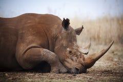 Biała nosorożec obrazy royalty free