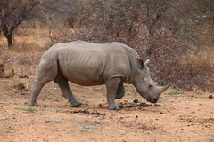 Biała nosorożec Fotografia Stock
