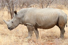 Biała nosorożec Obraz Stock