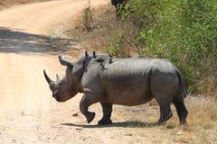 Biała nosorożec Zdjęcie Stock