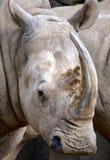 Biała nosorożec obraz royalty free