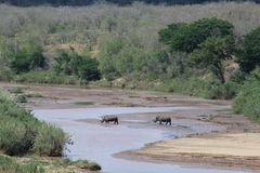 Biała nosorożec krzyżuje rzekę w afrykanina krajobrazie Obraz Royalty Free