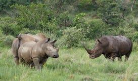 Biała nosorożec lub lipped nosorożec, Ceratotherium simu Zdjęcie Stock