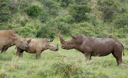 Biała nosorożec lub lipped nosorożec, Ceratotherium simu Obraz Royalty Free