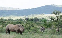 Biała nosorożec lub lipped nosorożec, Ceratotherium simu zdjęcia stock