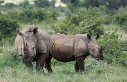 Biała nosorożec lub lipped nosorożec, Ceratotherium simu obrazy royalty free