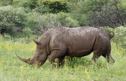 Biała nosorożec lub lipped nosorożec, Ceratotherium simu Fotografia Stock