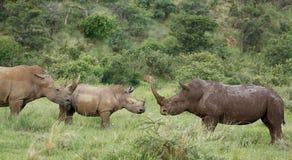 Biała nosorożec lub lipped nosorożec, Ceratotherium simu Obraz Stock