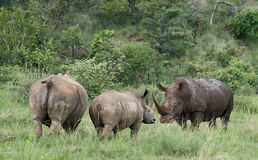 Biała nosorożec lub lipped nosorożec, Ceratotherium simu obrazy stock