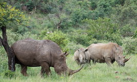 Biała nosorożec lub lipped nosorożec, Ceratotherium simu Zdjęcia Royalty Free