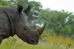 Biała nosorożec lub lipped nosorożec (Ceratotherium simum). Obrazy Royalty Free