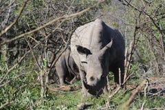 Biała nosorożec na strażniku Obrazy Stock