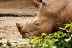 Biała nosorożec odpoczywa na ziemi. Obrazy Royalty Free