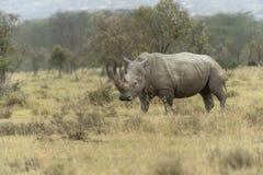 Biała nosorożec pasa w Jeziornym nakuru narodu parku Kenja obraz stock