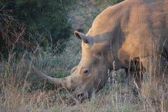 Biała nosorożec Południowa Afryka Zdjęcia Royalty Free