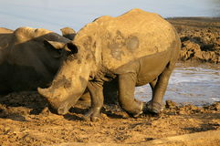 Południowi afrykańscy zwierzęta Fotografia Royalty Free