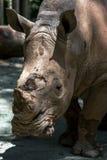 Biała nosorożec przy Singapur zoo w Singapur Obrazy Stock