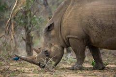 Biała nosorożec w afryce poludniowa Obrazy Royalty Free