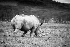 Biała nosorożec w Jeziornym Nakuru Obraz Stock