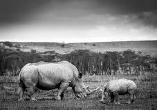 Biała nosorożec w Jeziornym Nakuru Obrazy Royalty Free