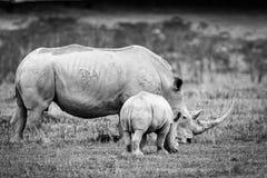 Biała nosorożec w Jeziornym Nakuru Obraz Royalty Free