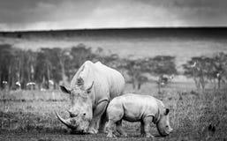 Biała nosorożec w Jeziornym Nakuru Fotografia Royalty Free