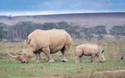 Biała nosorożec w Jeziornym Nakuru Obrazy Stock