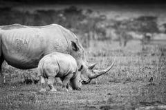 Biała nosorożec w Jeziornym Nakuru Fotografia Stock