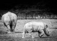 Biała nosorożec w Jeziornym Nakuru Zdjęcie Royalty Free