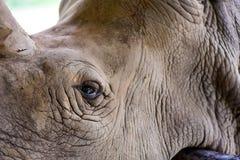 Biała nosorożec w otwartym zoo Obraz Royalty Free