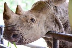 Biała nosorożec w otwartym zoo Fotografia Royalty Free