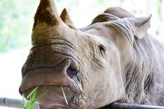 Biała nosorożec w otwartym zoo Obraz Stock