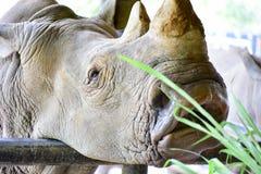 Biała nosorożec w otwartym zoo Zdjęcie Royalty Free