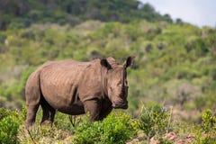 Biała nosorożec w Południowa Afryka Obraz Royalty Free