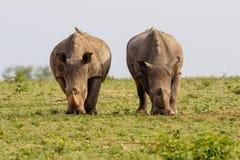 Biała nosorożec w Południowa Afryka zdjęcia royalty free