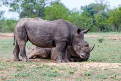 Biała nosorożec w Południowa Afryka zdjęcie royalty free