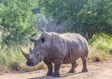 Biała nosorożec w sawannie przy Hlane Królewskim parkiem narodowym Fotografia Royalty Free