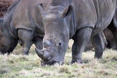 Biała nosorożec w stadzie Obrazy Royalty Free